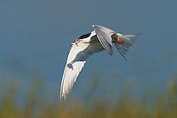 Common Tern (Sterna hirundo), Texel, the Netherlands