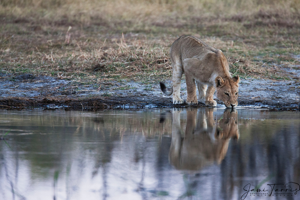 A young lioness (Panthera Leo) stops to get a drink in the Khwai River at dusk, Moremi,Botswana,Africa