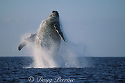 humpback whale, Megaptera novaeangliae, breaching, Hawaii Island, #2 in sequence of 9; caption must include notice that photo was taken under NMFS research permit #587