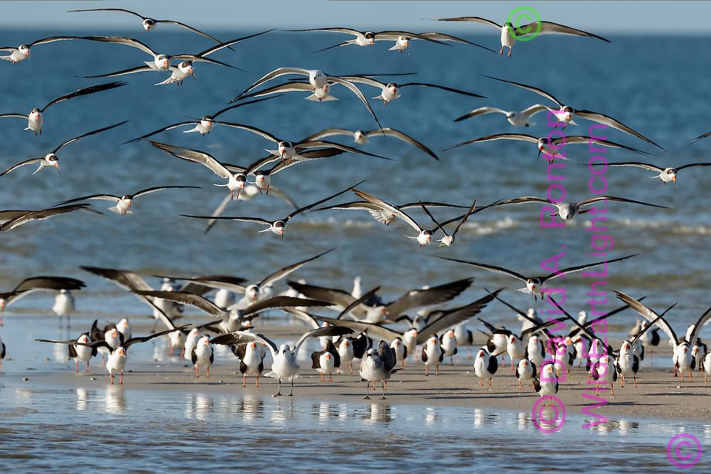 Mixed flock of black skimmers and seagulls landing on sandbar, San Carlos Bay, Florida, © David A. Ponton