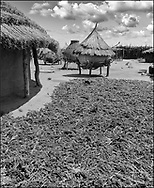 Sorgum being dried in the sun in a traditional tribal compound with thatced grain stores. Karamajong of Karamoja, Uganda 1980