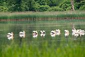 Dawley Pond Pelicans