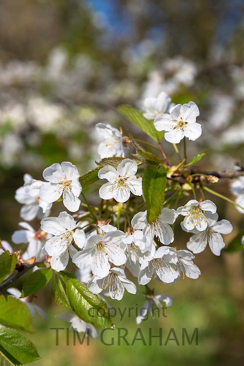 Wild Cherry Tree, Prunus avium, blossom on branch as Spring turns to Summer, United Kingdom