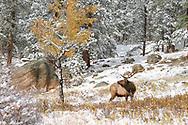 A bull Elk in the Autumn snow