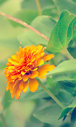 Monday Morning Light Casts a Glow on this Delicate Orange Zinnia Bloom