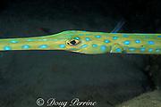 bluespotted cornetfish or cornet fish, Fistularia tabacaria, Dominica ( Caribbean Sea )