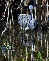 Tricolored Heron (Egretta tricolor). Merritt Island National Wildlife Refuge, Merritt Island, Florida. Image taken with a Nikon D4 camera and 500 mm f/4 VR lens.