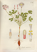 Woodsorrel (Oxalis undulata). Illustration from 'Oxalis Monographia iconibus illustrata' by Nikolaus Joseph Jacquin (1797-1798). published 1794