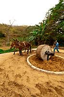 Agave penas crushed with a stone wheel drawn around a circular trough by a mule, Los Osuna Agave Distillery, near La Noria (near Mazatlan), Sinaloa, Mexico