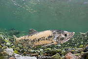 chum salmon, dog salmon, silverbrite salmon, or keta salmon, Oncorhynchus keta, in spawning stream, with body already starting to decompose in preparation for death after spawning; Bear Trap, Port Gravina, Alaska, USA ( Prince William Sound )