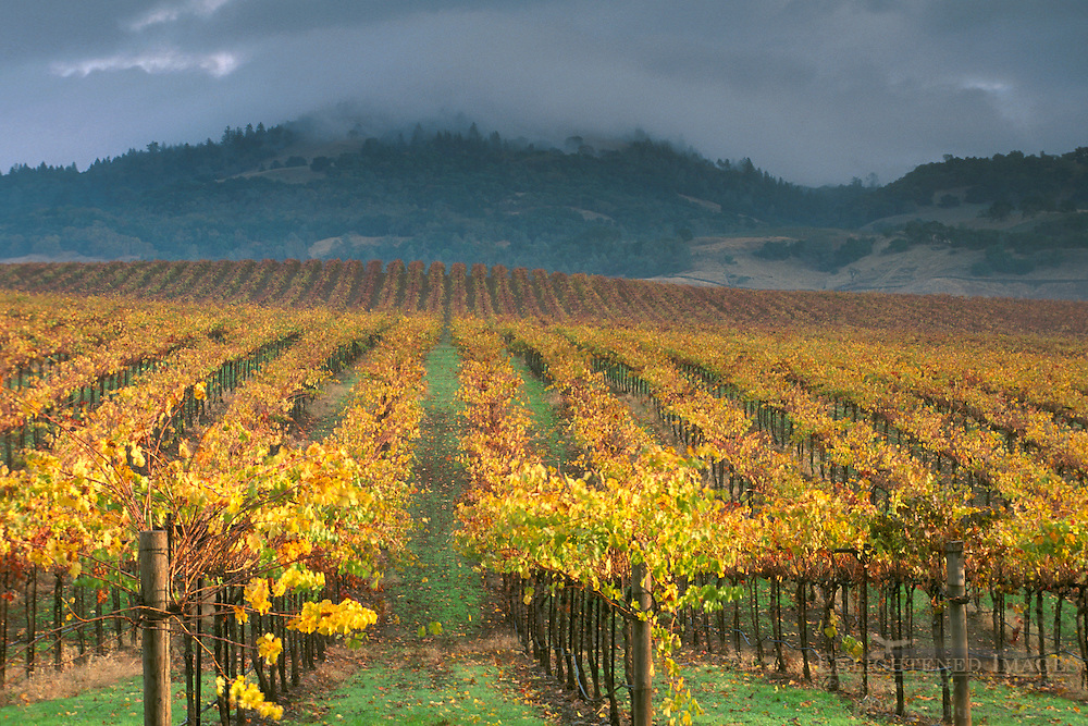 Clouds over Alexander Valley vineyard on a fall morning, near Asti, Sonoma County, CALIFORNIA