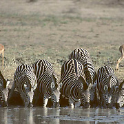 Burchell's Zebra, (Equus burchelli) Group gathered and drinking at waterhole. Impala in background. Kruger National Park. South Africa.