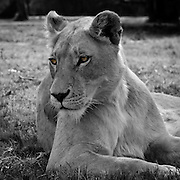 Close-up of a lioness in South Africa in black & white with original eye colour brought through the de-saturation layer