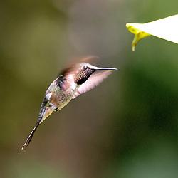 A ave estrelinha-ametista além de se alimentar de néctar, como a maioria dos beija-flores, gosta também de insetos. Vive geralmente solitário e é mestre em vôos ascendentes e para trás.