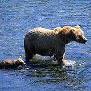 Alaskan Brown Bear, (Ursus middendorffi) Sow with cubs. Kodiak Island. Alaska