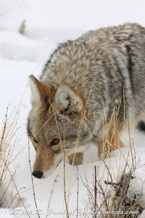 Close-up of Coyote hunting in winter habitat