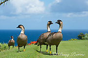 endemic Hawaiian geese or nene, Branta sandvicensis, the Hawaiian state bird, Princeville Golf Course, Hawaii ( Central Pacific Ocean )