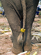 A domesticated Asian elephant with a tinsel decoration on her tail ready for the procession at the annual Sayaboury elephant festival, Sayaboury province, Lao PDR. Originally created by ElefantAsia in 2007, the 3-day elephant festival takes place in February in the province of Sayaboury with over 80,000 local and international people coming together to experience the grand procession of decorated elephants. It is now organised by the provincial government of Sayaboury.The Elephant Festival is designed to draw the public's attention to the condition of the endangered elephant, whilst acknowledging and celebrating the ancestral tradition of elephant domestication and the way of life chosen by the mahout. Laos was once known as the land of a million elephants but now there are fewer than 900 living in the country. Around 470 of them are in captivity, traditionally employed by a lucrative logging industry. Elephants are trained and worked by a mahout (handler) whose relationship to the animal is often described as a marriage and can last a lifetime. But captive elephants are often overworked and exhausted and as a consequence no longer breed. With only two elephants born for every ten that die, the Asian elephant, the sacred national emblem of Laos, is under serious threat of extinction.