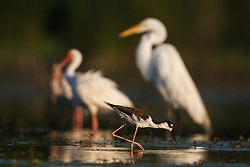 Great egrets and white ibis, Lemon Lake, Great Trinity Forest near Trinity River, Dallas, Texas, USA.