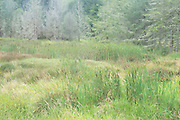 Roadside summer wetland, SW Washington State