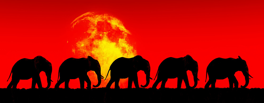 This image of a family of elephants crossing together across a stunning red sky is certainly going to grab your attention. There is no question that an image such as this will strike you as intensely evocative of something that is deep within yourself. This image doesn't simply depict a powerful scene of this elephant family journeying into the great beyond. You can also look to this image as something reminds you of your own thoughts about family. This art piece can be purchased as a canvas print, metal print, acryl print, or framed print. This piece can also be enjoyed across numerous interior products. .<br /> <br /> BUY THIS PRINT AT<br /> <br /> FINE ART AMERICA<br /> ENGLISH<br /> https://janke.pixels.com/featured/elephants-walk-in-the-red-sky-jan-keteleer.html