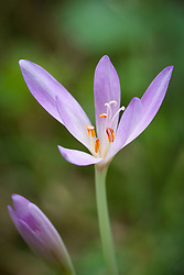 Autumn Crocus, Meadow Saffron, Naked Lady growing wild in a wood in Gloucestershire. Colchicum autumnale