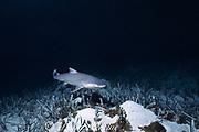 newborn lemon shark pup, Negaprion brevirostris, swims away from mother after birth in shallow lagoon, towards safety of mangroves, Bimini, Bahamas ( Western Atlantic Ocean )