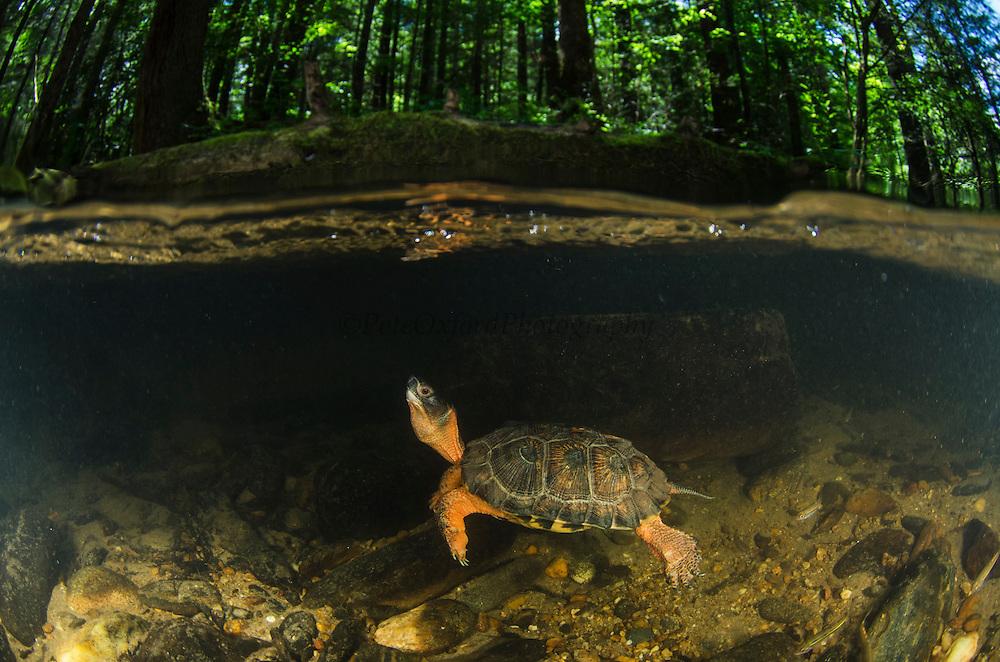 Wood Turtle (Glyptemys insculpta) swimming underwater<br /> CAPTIVE<br /> USA<br /> HABITAT & RANGE: Near streams and rivers form Nova Scotia to Minnesota and Virginia.<br /> ENDANGERED SPECIES