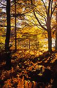 Autumn color, sun backlighting, Promised Land State Park, Pennsylvania