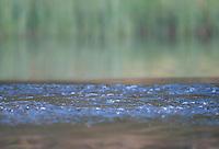 European beaver (Castor fiber) having detected presence of photographer (!), Bergslagen, Sweden.