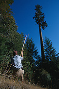 To get a rope into the 320 foot Henry Tree, the first branches of which begin at about 150 feet, Climber Andy Taylor uses a Big Shot to launch a lead-filled pouch trailing a fishing line.