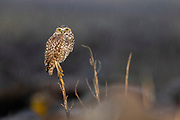 A burrowing owl (Athene cunicularia) braves a rainstorm from its perch in a field of rocks in Grant County, Washington.