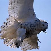 Snowy Owl, (Nyctea scandiaca) Female bringing bird kill in to chicks to feed. Barrow, Alaska.