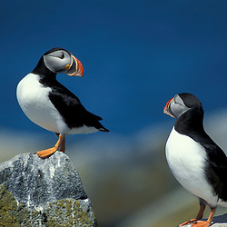 Atlantic Puffins, Fratercula arctica, on Machias Seal Island off the coasts of Maine and New Brunswick.