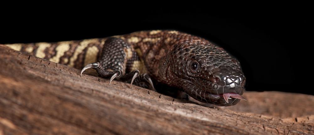 Mexican Beaded Lizard, (Heloderma horridum), captive
