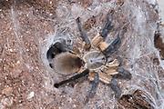Socotra Island Blue Baboon Tarantula, Monocentropus balfouri, Female, East Coast of Africa, in web burrow