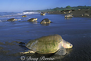 female olive ridley sea turtles, Lepidochelys olivacea, come ashore to nest during arribada ( mass nesting ), Ostional, Costa Rica ( Eastern Pacific Ocean )