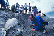 Paleontologist Jack Horner looking at dinosaur egg shells near Egg Mountain close to Choteau, Montana.  Jack was much of the inspiration for Michael Crighton's Jurassic Park novel.
