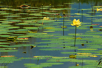 American lotus flower and pads on Lake Jackson in Tallahassee, Florida.