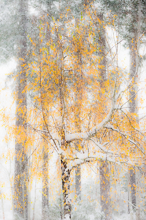 Birch tree in snowstorm, November, Clallam County, Olympic Peninsula, Washington, USA