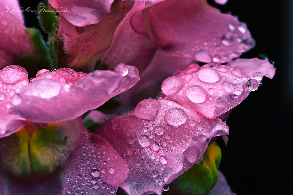 Rain drops on rose petal / dr025