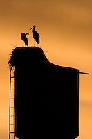White stork (Ciconia ciconia) pair silhouetted on nest. Lithuania, May 2009. Mission: Lithuania