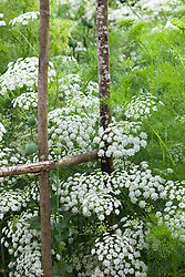 Ammi majus. Bishop's flower