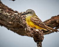 Couch's Kingbird (Tyrannus couchii). Campos Viejos, Texas. Image taken with a Nikon D4 camera and 600 mm f/4 VR lens
