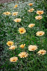 Euphorbia hypericifolia Diamond Frost syn. 'Inneuphe' with Arctotis 'Apricot' - African daisy