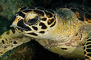 Hawksbill Turtle (Eretmochelys imbriocota)<br /> BONAIRE, Netherlands Antilles, Caribbean<br /> HABITAT & DISTRIBUTION: Reefs and open water. Most common in Caribbean