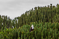 African fish eagle sits in a cactus tree (a.k.a. Candelabra tree), Kazinga Channel, Queen Elizabeth National Park, Uganda.