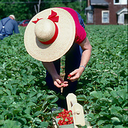 A woman wearing a broad straw hat picks strawberries at a pick-your-own farm in Maine