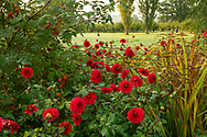 Bright red dahlias in a border at Waterperry Gardens, Waterperry, Wheatley, Oxfordshire
