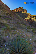 Yucca and sego lily wildflowers along the North Kaibab Trail in Grand Canyon National Park, Arizona, USA